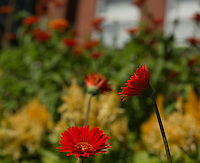 Meredith Public Library flower gardens.  (Karen Bobotas/for the Laconia Daily Sun)