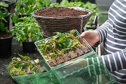 Planting up a hanging basket using mail order begonia plug plants