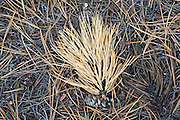 Ponderosa pine (Pinus ponderosa) needles cover the ground along the Goose Creek Trail, Lost Creek Wilderness, Colorado.