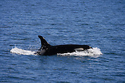 Orca, whale, San Juan Islands, Washington state