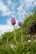 Monkey Orchid, Orchis simia, Park Gate Downs, Kent Wildlife Trust, UK