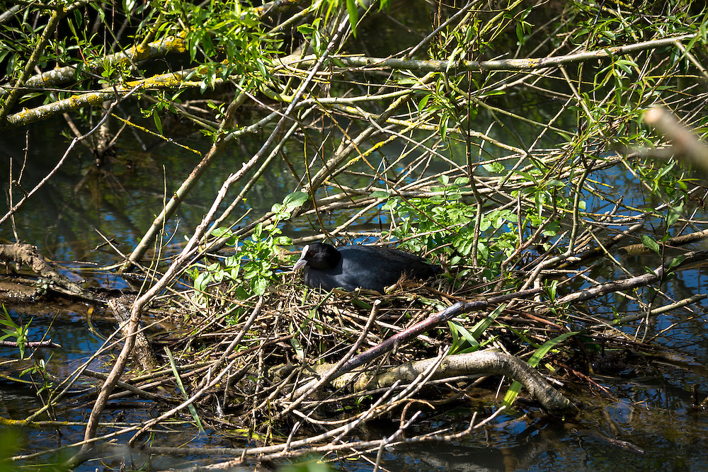 Adult female Coot, Fulica atra, in the Rallidae rails bird family sitting on her nest in summertime, UK