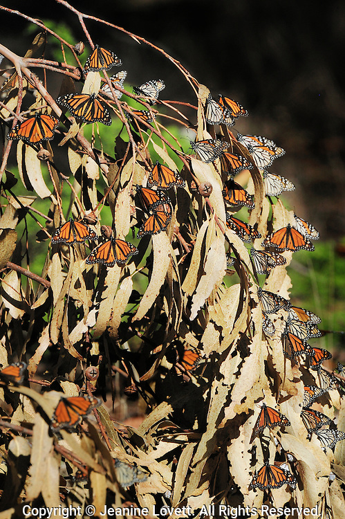 The upper side of the wings is tawny-orange,  The underside is similar yellow-brown instead of tawny-orange and the white spots are larger. Butterflies sunning themselfs on dead eucalyptus tree branch.