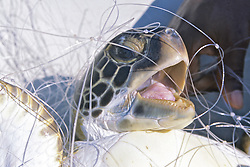 Green Turtle In Netting