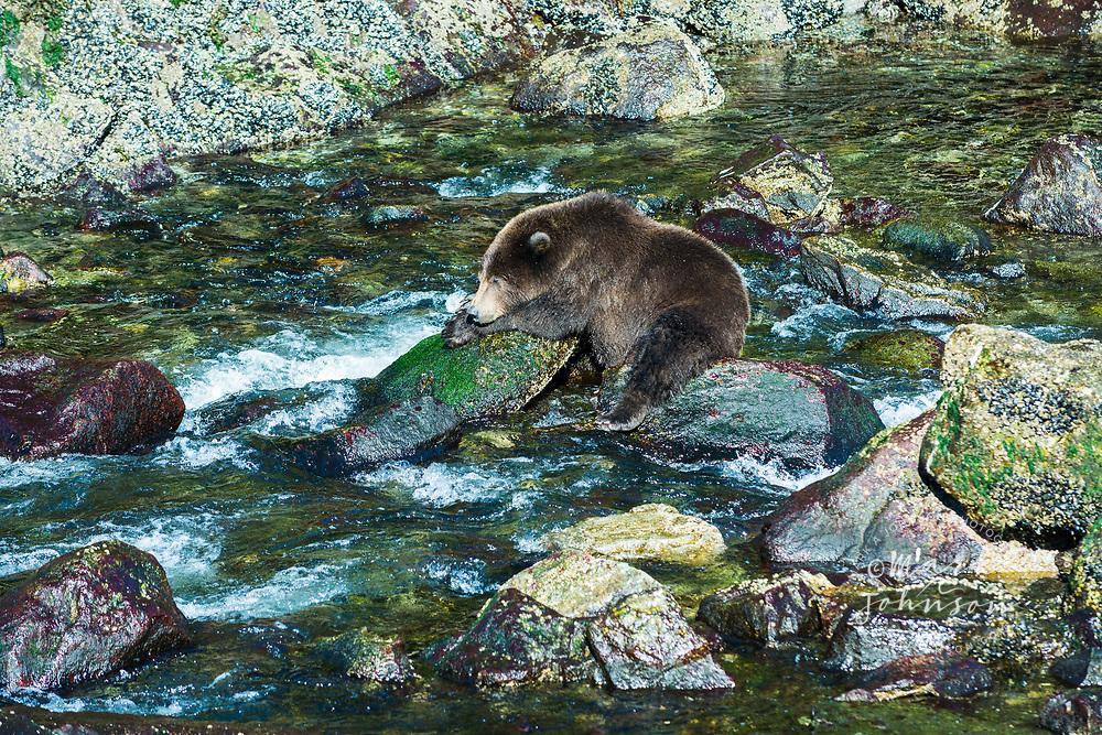 Grizzly Bear taking a nap on a rock in a stream, Baranof Island, Alaska, USA