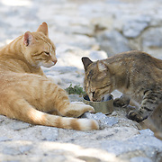 Cats in Crete drinking water