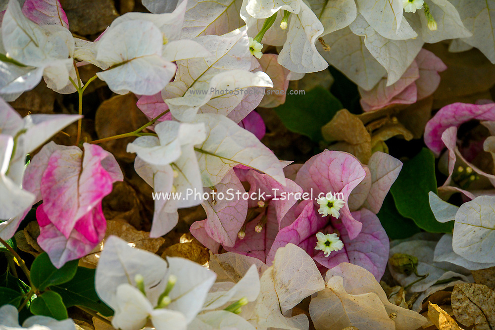 White and pink flowers of a Bougainvillea bush close up