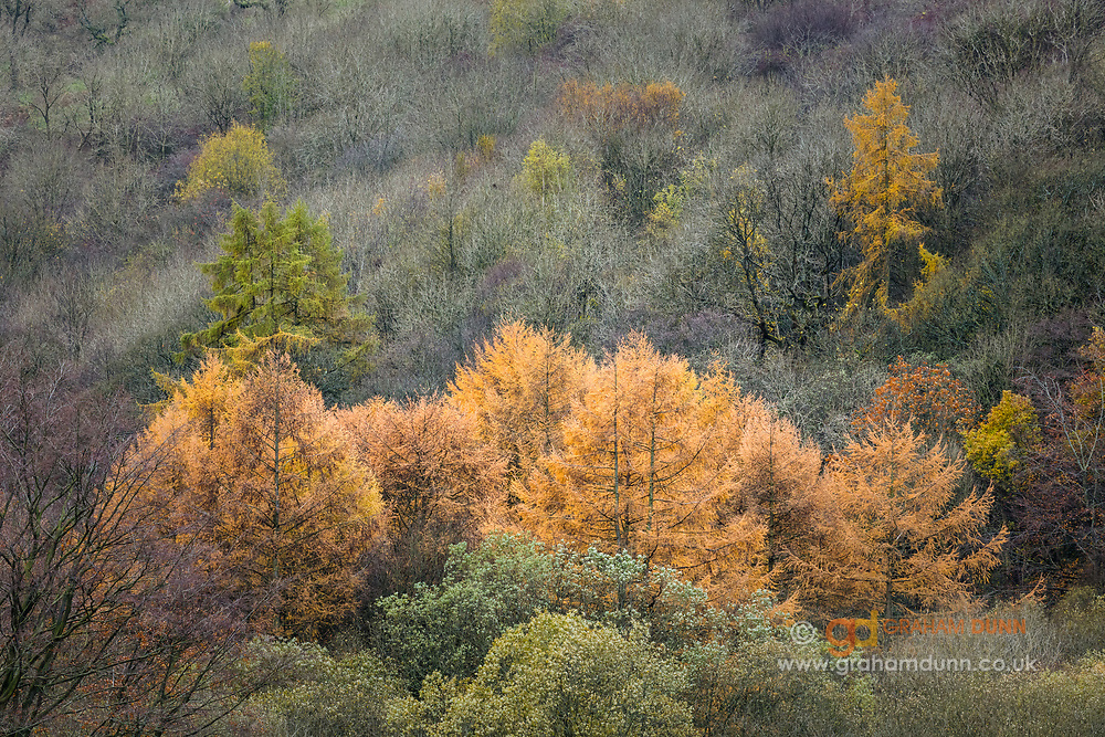 A wonderful array of autumnal colour and texture in woodland on the banks of the Derwent Valley in teh Peak District Nationals Park. Greens, golds, yellows and oranges all on display in the Derbyshire Peak District, England, UK.