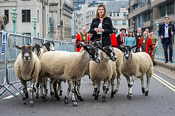 © Licensed to London News Pictures. 26/09/2021. LONDON, UK.  Sheep precede Amanda Owen, The Yorkshire Shepherdess (C), the Lord Mayor of London, The Right Honourable William Russell, and other Freemen of the City, during the annual sheep drive on Southwark Bridge.  Organised by Worshipful Company of Woolmen, the event recognises the historical right of Freemen of the City to drive sheep over the Thames and into the City.  Photo credit: Stephen Chung/LNP