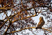 Short-eared owl (Asio flammeus) with head turned. Surrey, UK.