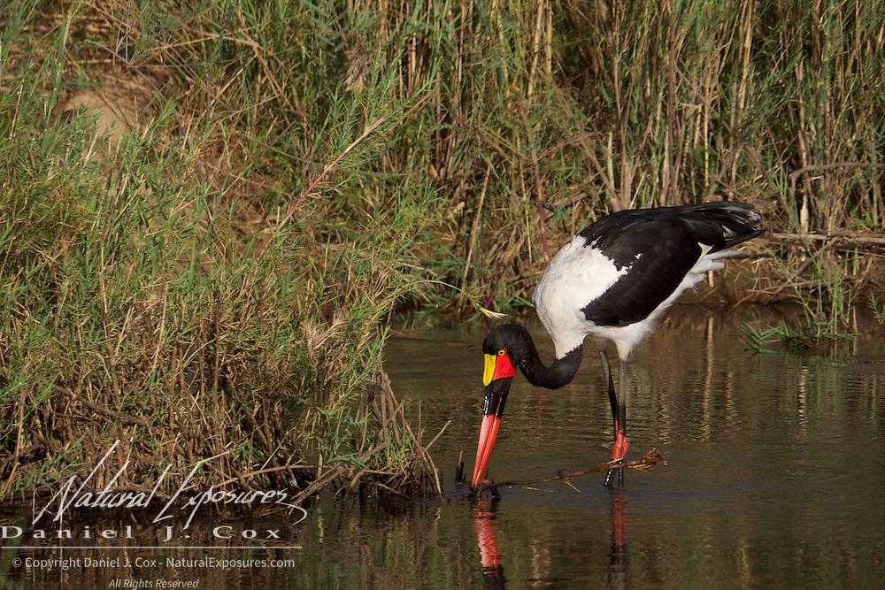 Saddle-billed Stork along Sand River. MalaMala Game Reserve. South Africa.