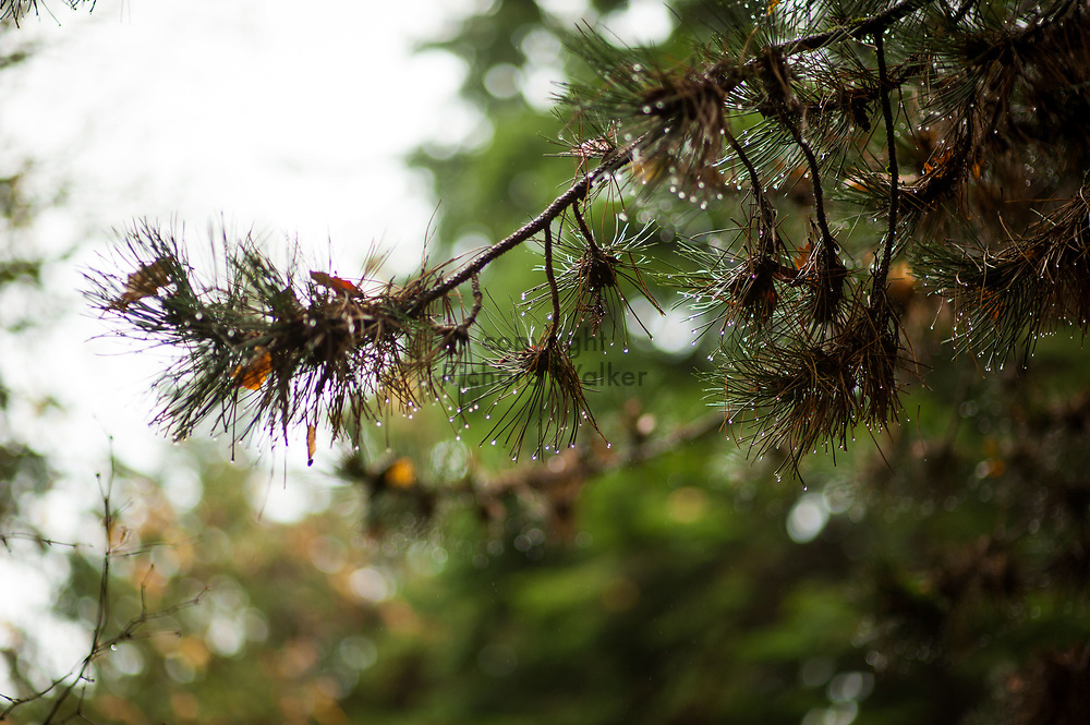 2017 NOVEMBER 20 - Autumn wet pine tree tree at Lincoln Park in West Seattle, WA, USA. By Richard Walker
