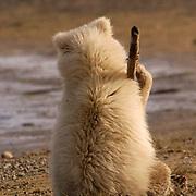 Alaskan Brown Bear (Ursus middendorffi)  Cub playing with stick. Cute. Katmai National Park. Alaska.