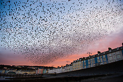 © London News Pictures. 16/02/2016 Aberystwyth, Wales, UK. After the coldest night of the year so far this winter, with temperatures dropping in places to minus 6ºc, tens of thousands of starlings emerge en-masse at dawn from their overnight roost under the pier in  Aberystwyth. Photo credit: Keith Morris/LNP