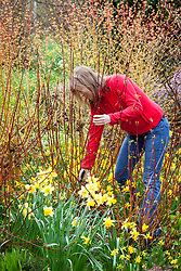 Cutting back cornus stems (dogwood) in early spring to promote good colour.