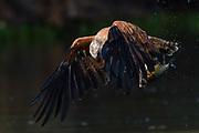 A black-collared hawk, Busarellus nigricollis, fishing.