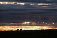 Two pronghorns pause in the early morning in Badlands National Park