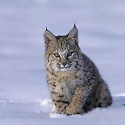 Bobcat, (Lynx rufus) In snow. Winter.  Captive Animal.