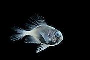 [captive]  deep sea fish Atlantic Ocean, close to Cape Verde | Eine juvenile Seebrasse (Bramidae) auch Brachsenmakrelen genannt. Vermutlich Pterycombus brama , aber unsicher. Kommt in Wassertiefen bis 400m vor. Sie hat ein oberständiges Maul, um besser Beute über ihr ergreifen zu können. Aus dem Atlantik, in der Nähe von Kap Verde