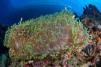 Dive Boat and Pink Anemonfishes