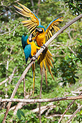 Gold and Blue Macaw (Ara ararauna) perching on tree branch, Orinoco Delta, Venezuela