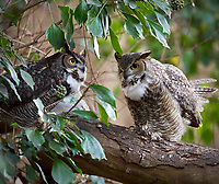 I photographed this pair of owls about once a week for six months in Santa Cruz, California, following them from searching for a nest to fledging two young successfully.  Notice the female owl on the right looking down into the darker forest has larger pupils than the male on the left looking up to the lighter sky