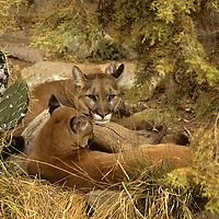 North America, Americas, USA, United States, Arizona. Resting Mountain Lions at the Arizona-Sonora Desert Museum.
