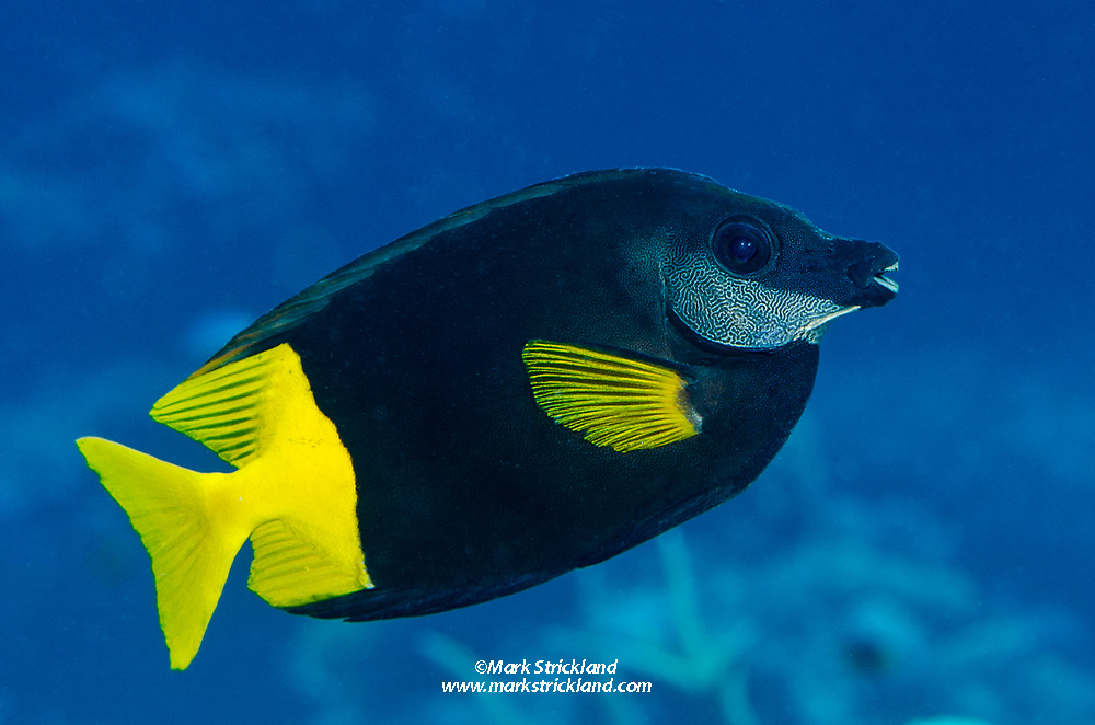 Bicolor Rabbitfish, Siganus uspi, found only in Fiji and New Caledonia. Bligh Water, Fiji, Pacific Ocean