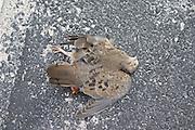 Dead morning dove.  North Redington Beach Tampa Bay Area Florida USA