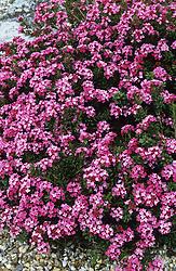Daphne cneorum - Garland flower