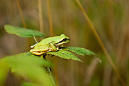 A Pacific Chorus Frog trying to blend in on a Dewberry leaf along the hummocks trail, Mt. St. Helens National Monument