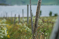 Old fence runs through field of summer wildflowers, Gimsøy, Lofoten Islands, Norway