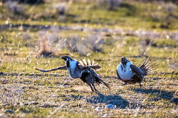 Fighting sage grouse, the birds are amazing to watch during the breeding when they are fighting and struttiong