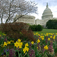 The U.S. Capitol building rises behind blooming cherry trees and spring garden flowers in Washington, D.C.