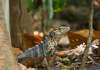 Black spiny-tailed iguana, Ctenosaura similis. Manuel Antonio National Park, Costa Rica