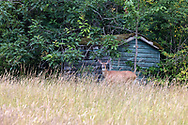 A Columbian Black-tailed Deer (Odocoileus hemionus ssp. columbianus) doe pauses while foraging on Oak leaves near an old farm outbuilding at Campbell Valley Regional Park in Langley, British Columbia, Canada