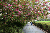 The crabapple blossoms in the Conservatory Garden of Central Park are bursting forth today April 15, 2021.