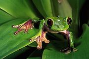 Maroon-eyed tree frog (Agalychnis litodryas)<br /> CAPTIVE<br /> Choco, NW Ecuador<br /> ECUADOR. South America<br /> Endangered. habitat loss