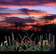 A pretty sky sets of the perennial garden made with Christmas lights at the Bellevue Botanic Garden. (Benjamin Benschneider / The Seattle Times)