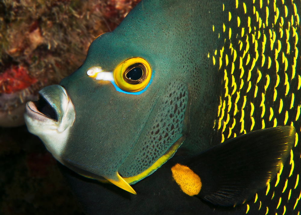 Face portrait of a French angelfish (Pomacanthus paru) in The Bahamas.