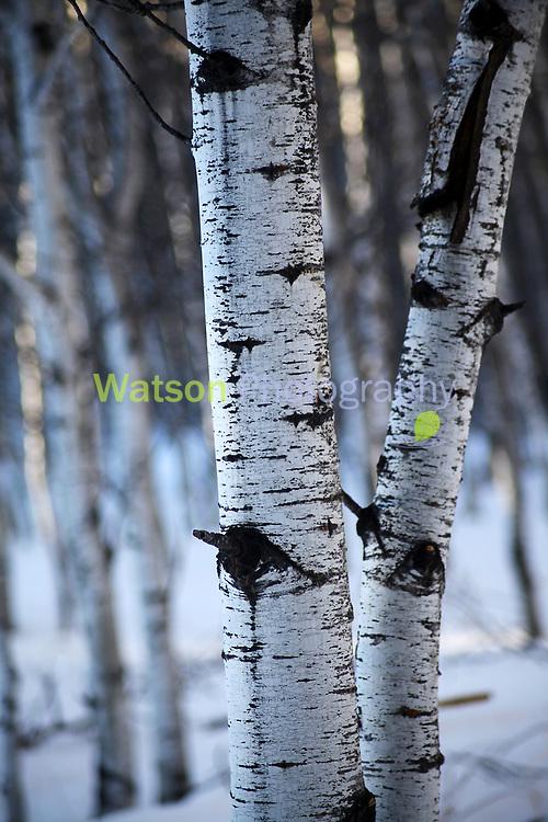 Aspen of Winter