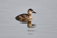 Female Ruddy duck (oxyura jamaicensis) swimming in slough, Lafarge Meadows, Calgary, Alberta, Canada,
