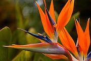 Bird of Paradise, Kula Botanical Garden, Upcountry, Maui, Hawaii