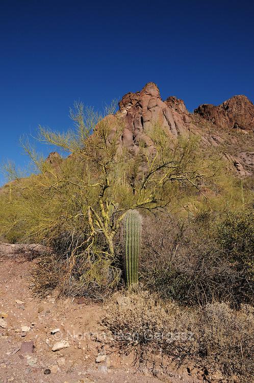 A young Saguaro cactus (Carnegiea gigantea) grows under a nurse plant, a Palo Verde Tree, in Tucson Mountain Park in the Sonoran Desert,Tucson, Arizona, USA.