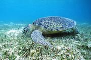 green sea turtle, Chelonia mydas, feeding on sea grass, Cymodocea serrulata, in shallows, Sipadan Island, Borneo, Malaysia, Darvel Bay, Celebes Sea ( Pacific Ocean )