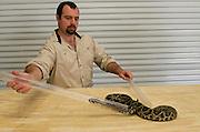 Tubing Eastern Diamondback Rattlesnake (Crotalus adamanteus) & Chris Jenkins safe handling<br /> CAPTIVE<br /> The Orianne Indigo Snake Preserve<br /> Telfair County. Georgia<br /> USA<br /> RANGE: Southern United States
