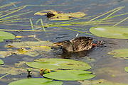 Female mallard duck dabbling for food amongst lilies on Decoy Lake at Shapwick Heath