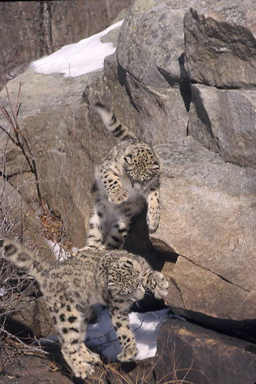 Snow Leopard, (Panthera uncia) Inhabits high mountains of central Asia. Pair playing. Captive Animal.