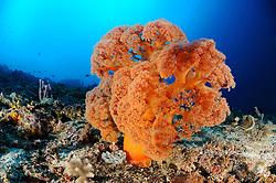 Dendronephthya klunzingeri, Stachelige Prachtkoralle, orange Weichkoralle, Korallenriff, colorful coral reef and soft corals, Bali, Indonesien, Indopazifik, Bali, Indonesia Asien, Indo-Pacific Ocean, Asia