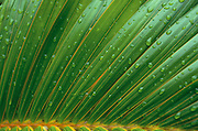 Coconut Palm<br />